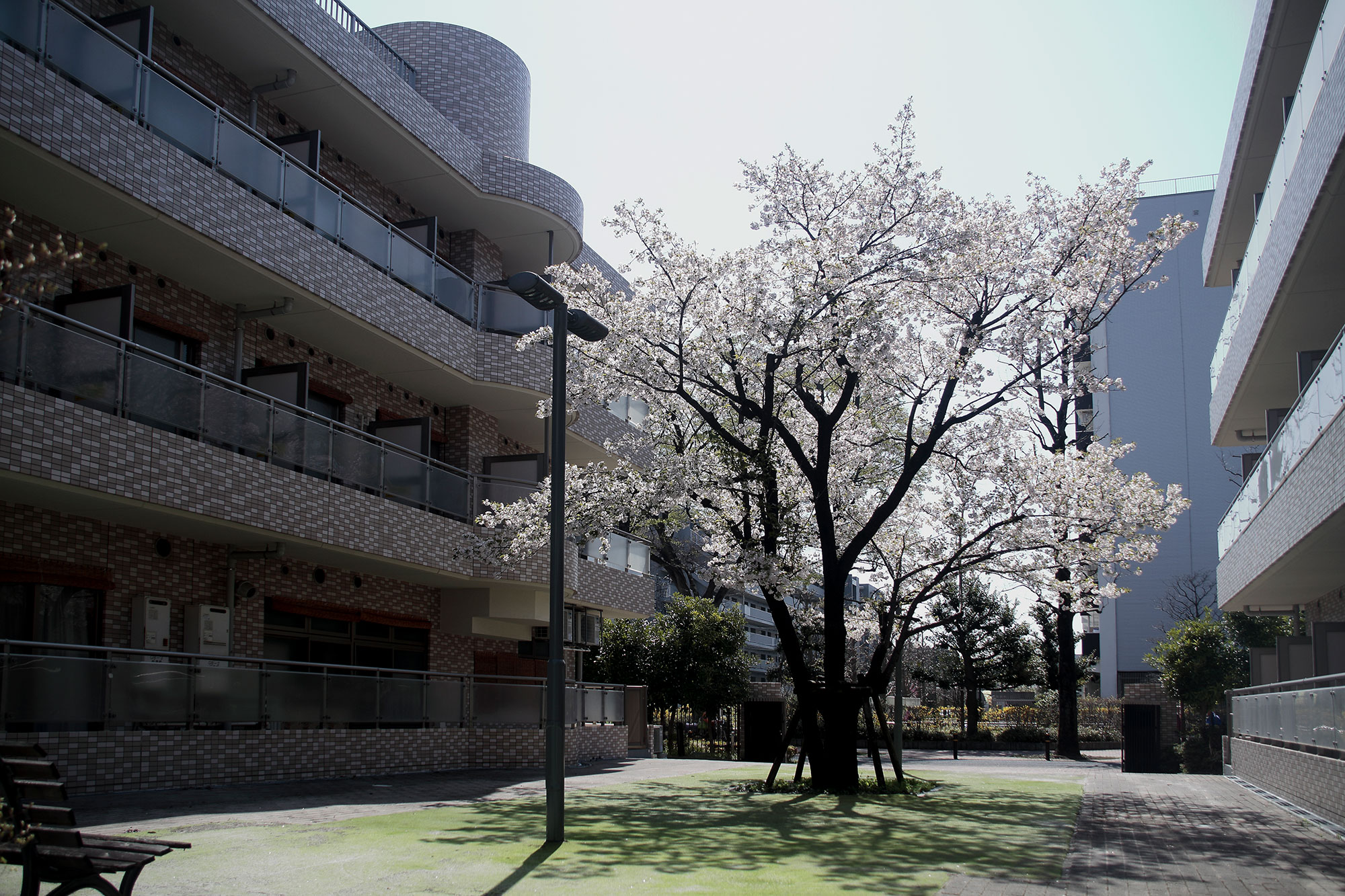 大島桜 赤塚園
